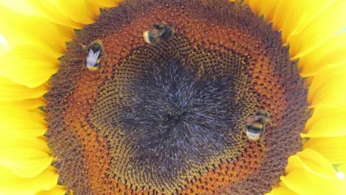 Early bumblebee (Bombus pratorum), buff-tailed bumblebee (Bombus Terrestris) and white-tailed bumblebee (Bombus lucorum) on sunflower.